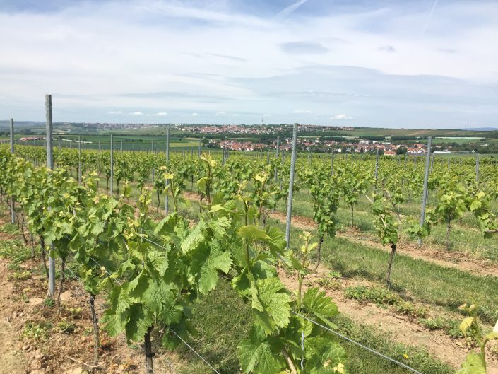 Weinberg Blick auf Klein-Winternheim - Weingut Bugner
